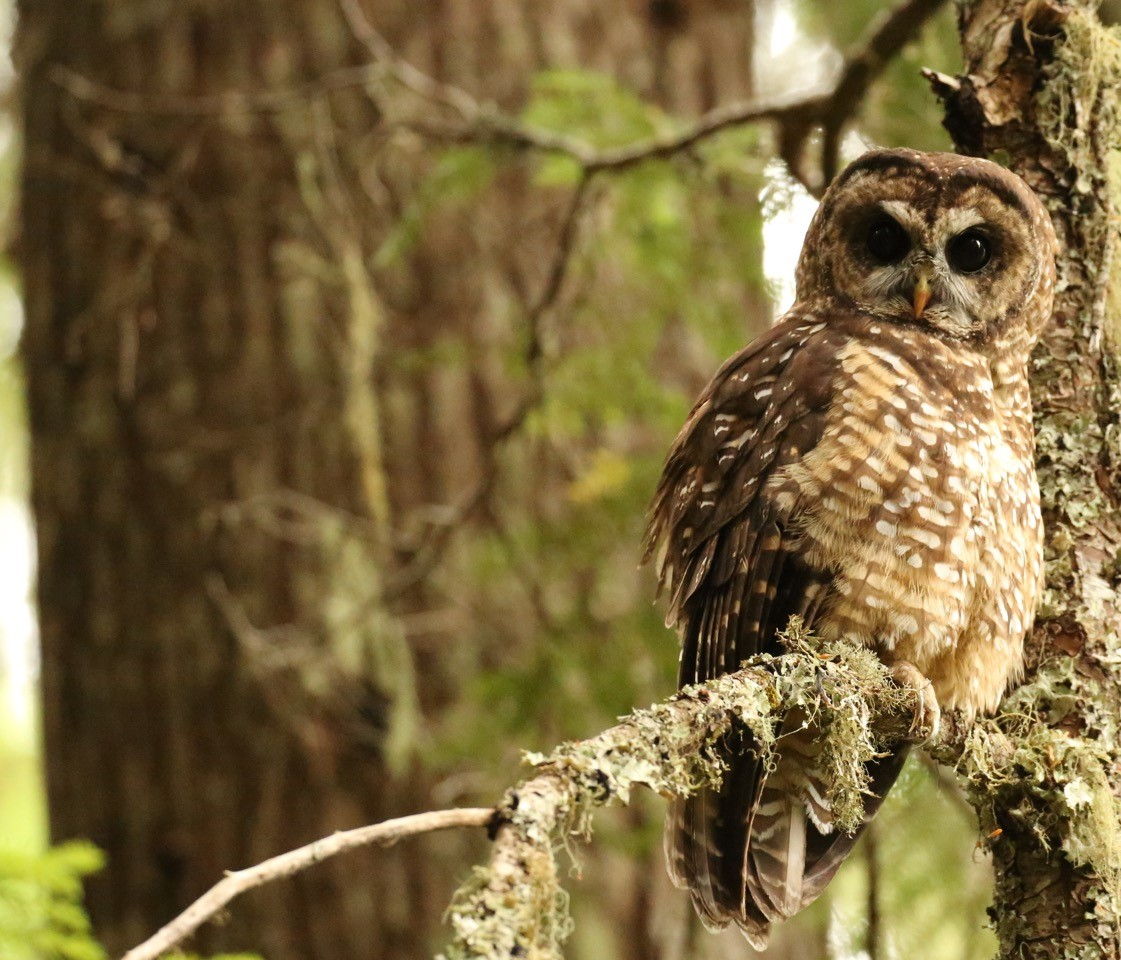 Spotted Owl. by Matt Betts